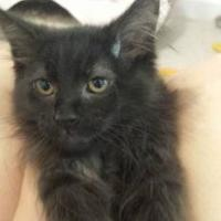 Domestic Longhair/Domestic Shorthair Mix Cat for adoption in Winona, Minnesota - Blade