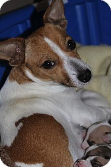 Jack Russell Terrier Mix Dog for adoption in Minneapolis, Minnesota - Robin