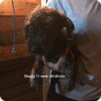 Adopt A Pet :: Shaggy - East haven, CT
