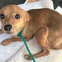 Adopt A Pet :: Dexter 2 - Las Vegas, NV