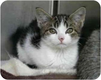 Domestic Shorthair Kitten for adoption in Saanichton, British Columbia - Monty