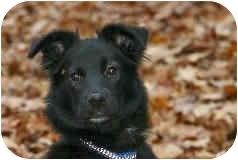 Collie Mix Puppy for adoption in Avon, New York - Bayla