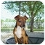 Photo 2 - Terrier (Unknown Type, Medium)/Chihuahua Mix Puppy for adoption in Baton Rouge, Louisiana - Boudreaux