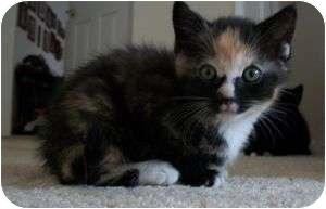 Calico Kitten for adoption in Colorado Springs, Colorado - K-Mouse3-Buttercup
