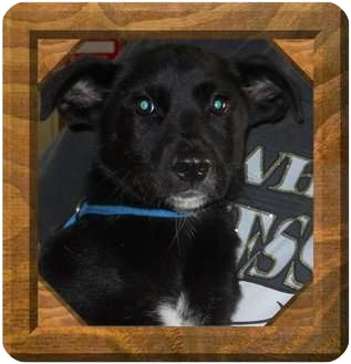 Border Collie Mix Puppy for adoption in Belvidere, Illinois - Garry