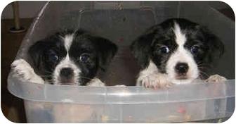 Shih Tzu/Rat Terrier Mix Puppy for adoption in Provo, Utah - REM & STEMPY