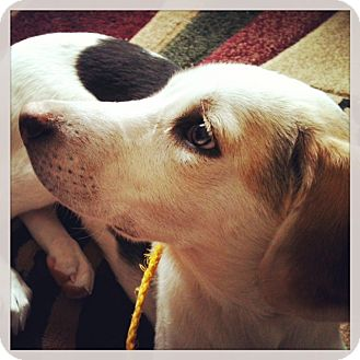 Hound (Unknown Type) Mix Puppy for adoption in Kalamazoo, Michigan - Rosa