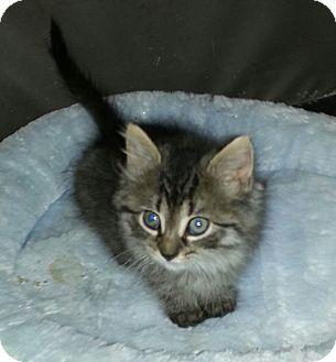 Maine Coon Kitten for adoption in Whitestone, New York - Zsa Zsa