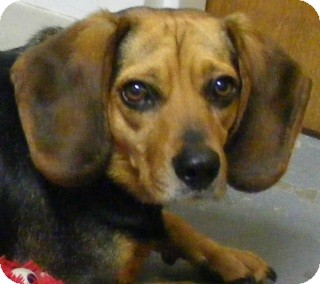 Beagle Mix Dog for adoption in Olive Branch, Mississippi - Pepper