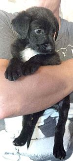 Labrador Retriever Mix Puppy for adoption in Allentown, Pennsylvania - Smokey