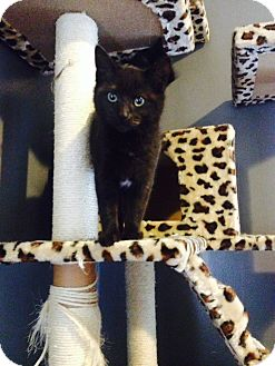 American Shorthair Kitten for adoption in Pontotoc, Mississippi - prince