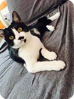 Domestic Shorthair Cat for adoption in Arden, North Carolina - Luna