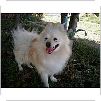 Pomeranian Dog for adoption in Long Beach, California - Floyd