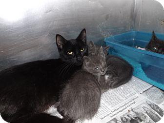 Domestic Shorthair Cat for adoption in Thomaston, Georgia - Sweetie Pies