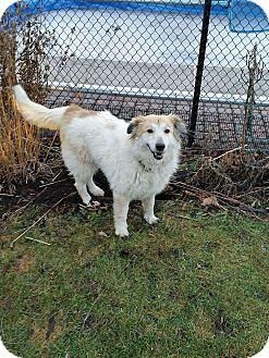 Anatolian Shepherd/Collie Mix Dog for adoption in Zephyr, Ontario - Happy