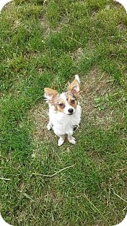 Papillon/Chihuahua Mix Puppy for adoption in Rathdrum, Idaho - Phoenix