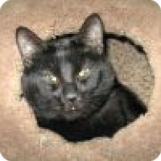 Domestic Shorthair Cat for adoption in Powell, Ohio - Mistro