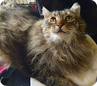 Maine Coon Cat for adoption in Oberlin, Ohio - Mr. Buddha