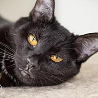 Domestic Shorthair Cat for adoption in Columbus, Ohio - Mr E