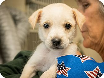 Border Terrier Mix Puppy for adoption in Dallas, Texas - Lieutenant