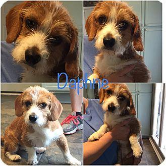 Schnauzer (Standard)/Corgi Mix Puppy for adoption in Moosup, Connecticut - DAPHNE