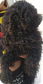 Poodle (Miniature) Mix Puppy for adoption in Thousand Oaks, California - Leonardo