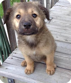 Shepherd (Unknown Type) Mix Puppy for adoption in Saskatoon, Saskatchewan - Bear
