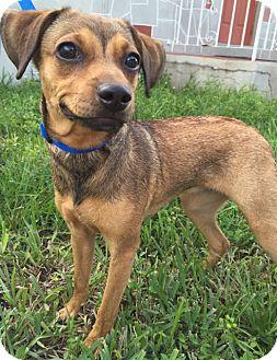 Miniature Pinscher/Chihuahua Mix Puppy for adoption in Ocean Ridge, Florida - Mindy