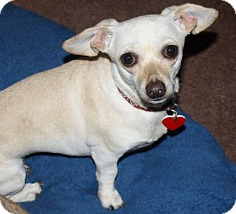 Dachshund/Chihuahua Mix Dog for adoption in Los Angeles, California - Cookie - 8.8 lbs!