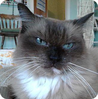 Ragdoll Cat for adoption in Brimfield, Massachusetts - Shelby