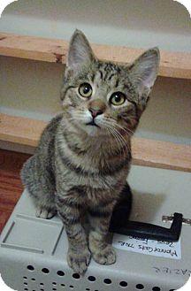 Domestic Shorthair Kitten for adoption in Newport, Michigan - Molly