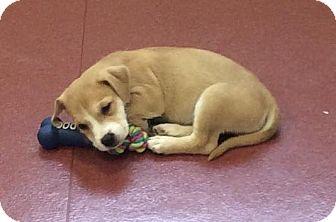 Terrier (Unknown Type, Medium) Mix Puppy for adoption in Mechanicsburg, Ohio - Rotton
