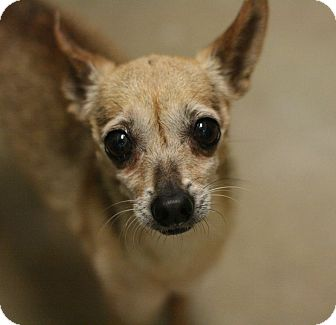 Chihuahua Mix Dog for adoption in Canoga Park, California - Roxy