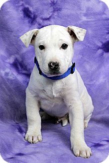 American Bulldog Mix Puppy for adoption in Westminster, Colorado - ARMANDO