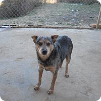 Adopt A Pet :: Holly - dewey, AZ
