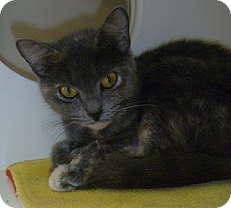 Domestic Shorthair Cat for adoption in Hamburg, New York - Fiona