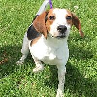 Adopt A Pet :: Charlie - Muscatine, IA
