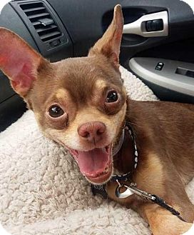 Chihuahua Dog for adoption in Baltimore, Maryland - Peanut