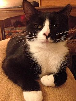 Domestic Shorthair Cat for adoption in Colonial Beach, Virginia - Jiminy