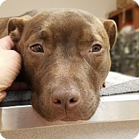 Adopt A Pet :: Shae - Bergen County, NJ