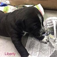 Adopt A Pet :: LIBERTY - Hampton, VA