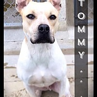 Adopt A Pet :: Tommy - Hartford City, IN