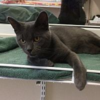 Adopt A Pet :: Smokey - Fremont, OH