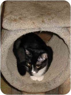 Domestic Shorthair Cat for adoption in San Diego/North County, California - Bradey