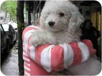 Poodle (Miniature) Puppy for adoption in Long Beach, New York - Noodles
