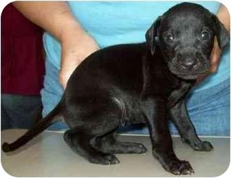 Hound (Unknown Type) Mix Puppy for adoption in North Judson, Indiana - Midnight