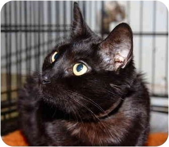Domestic Shorthair Cat for adoption in Brooklyn, New York - Cartwheel