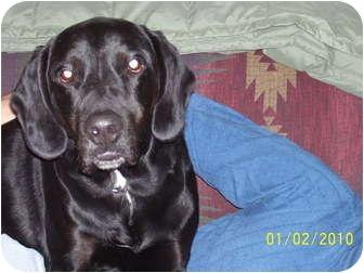 Labrador Retriever/Hound (Unknown Type) Mix Dog for adoption in Oxford, Michigan - Malley