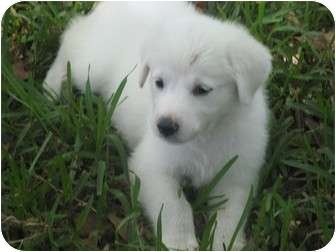 Great Pyrenees Puppy for adoption in Kyle, Texas - Gabriel