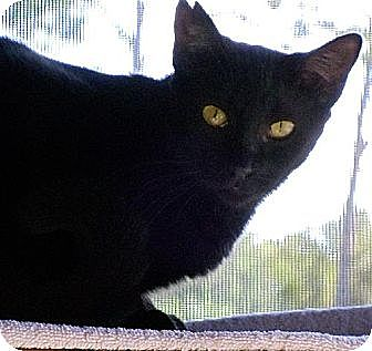 Domestic Shorthair Cat for adoption in Palm City, Florida - Trek